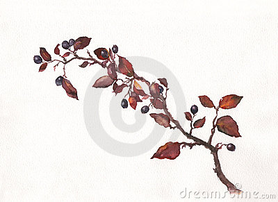 Cotoneaster watercolor painting
