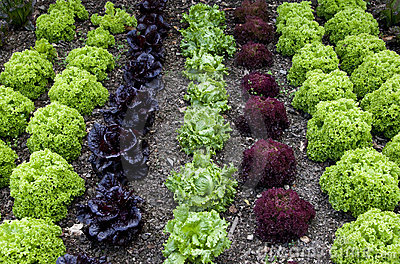 Cottage Garden Lettuce patch