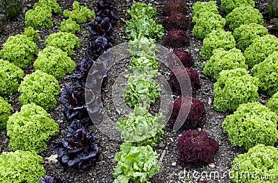 Cottage Garden Lettuce patch