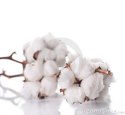 Free Cotton Stock Images - 13031414