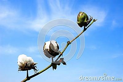 Cotton branch against sky