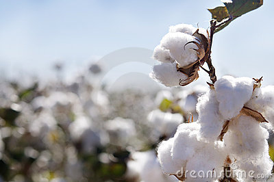 Cotton bud in field