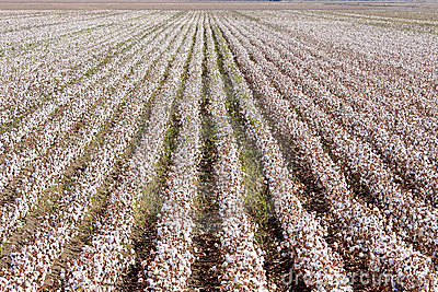 Cotton farm near Seville in Andalusia, Spain