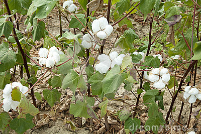A cotton field