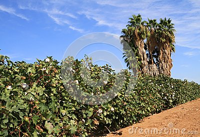 Arizona: Agriculture - Cotton Field in a Desert