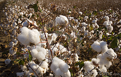 Cotton Field at Harvest