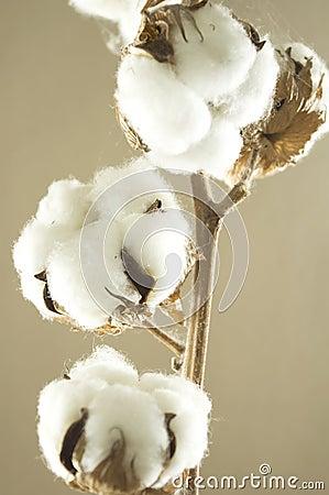 Free Cotton Flower Stock Image - 12764801