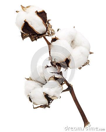 Free Cotton Flower Royalty Free Stock Image - 19795726