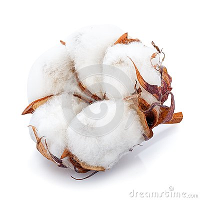 Free Cotton Flower Isolated Royalty Free Stock Photo - 106142195