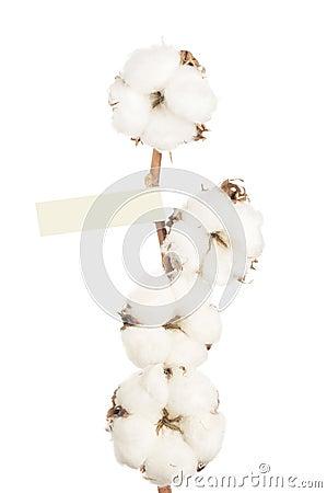 Cotton flowers.