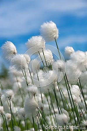 Free Cotton Grass Stock Photo - 32060960