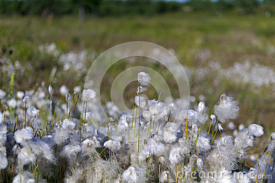 Cotton grass in the swamp