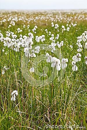 Free Cotton Grass Tundra Royalty Free Stock Photography - 63535977