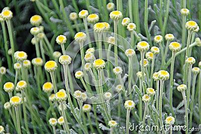 cotton lavender plant