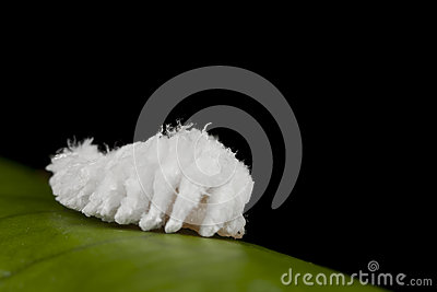 Cotton like worm: Woollyworm