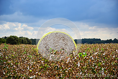 Cotton module in a field