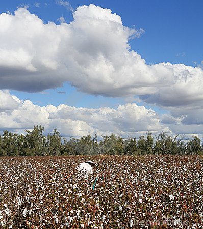 Cotton Pickin
