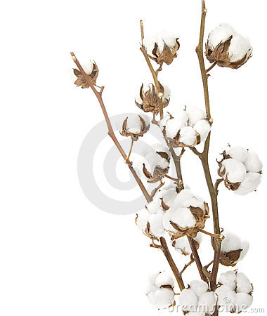 Free Cotton Plant Royalty Free Stock Images - 11983929