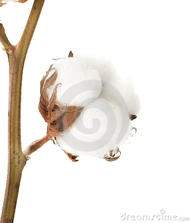 Free Cotton Plant Royalty Free Stock Image - 11983936