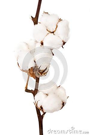 Free Cotton Plant Stock Photo - 16464950