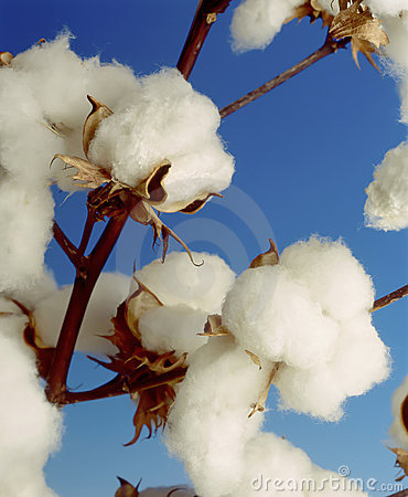 Free Cotton Plant Royalty Free Stock Photos - 16513478