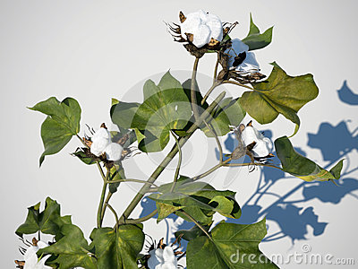 cotton plant 3d illustration