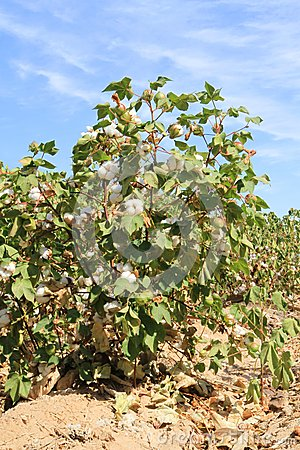 Cotton plant at irrigation ditch