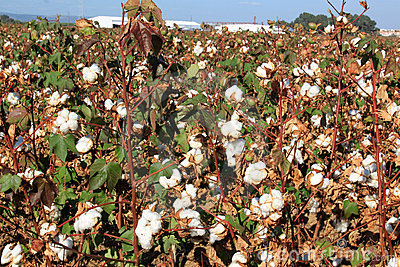 Cotton plantation near Seville in Andalusia, Spain