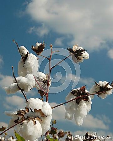 Cotton Season 3