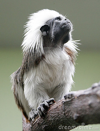 Cotton-top Tamarin 1
