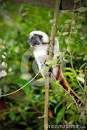 Cotton-top tamarins (Saguinus Oedipus) in Singapor