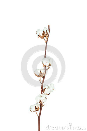 Free Cotton Twig Royalty Free Stock Image - 51015026