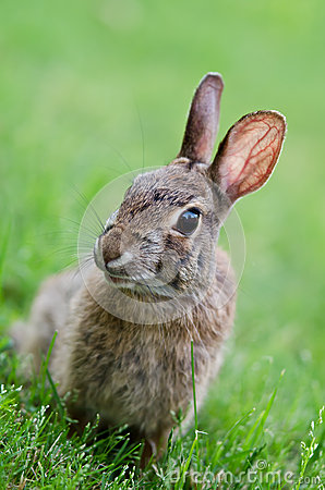 Cottontail bunny rabbit