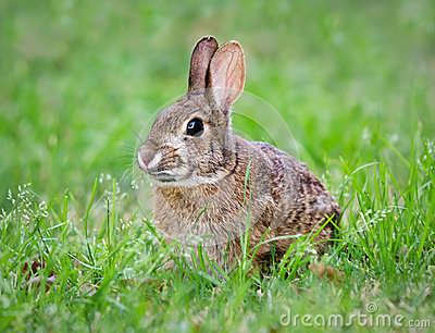 Cottontail bunny rabbit munching grass