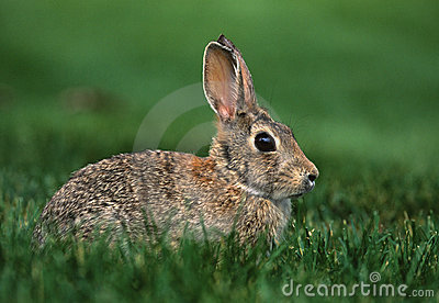 Cottontail królik