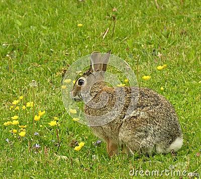 Cottontail Rabbit 1