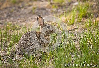 Cottontail Rabbit #1