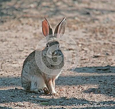 Cottontail Rabbit #5