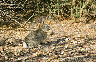 Cottontail Rabbit #6