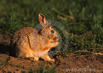 Cottontail Rabbit Cleaning Paw
