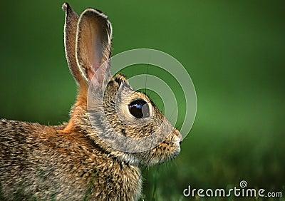 Cottontail Rabbit Portrait