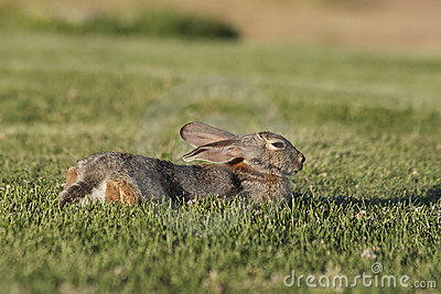 Cottontail Rabbit Resting