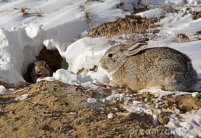 Cottontail rabbits and burrow