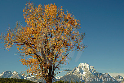 Cottonwood and Mt Moran 1