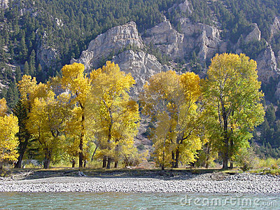 Stock Image: Cottonwoods, Yellowstone River, Montana