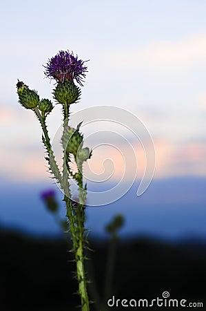 Coucher du soleil avec la fleur de chardon images stock image 15912924 - Fleur du soleil ...