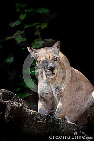 Free Cougar Stock Photos - 11001843