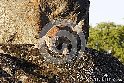 Cougar boulder