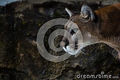 Mountain lion face close up - photo#28