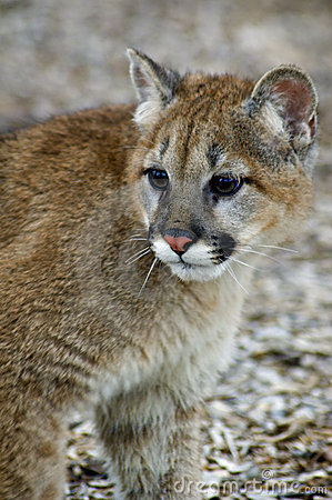 Free Cougar (Felis Concolor) - Head/Shoulders Stock Photo - 663640